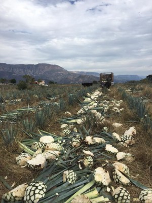 L'agave tequilana Weber